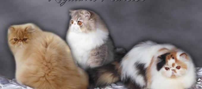 les gales du chat